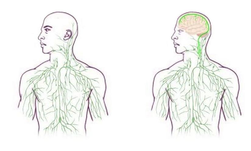 Научниците откриле неверојатна поврзаност во телото за која досега не се знаело дека постои