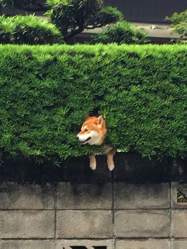 (1) Ова куче се заглавило во грмушка, но продолжило да се однесува како сè да е во ред