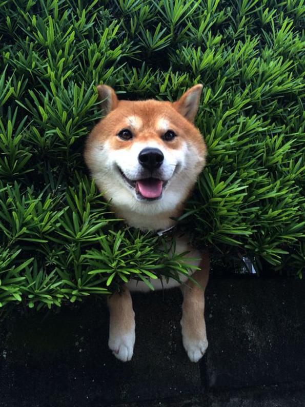 (2) Ова куче се заглавило во грмушка, но продолжило да се однесува како сè да е во ред