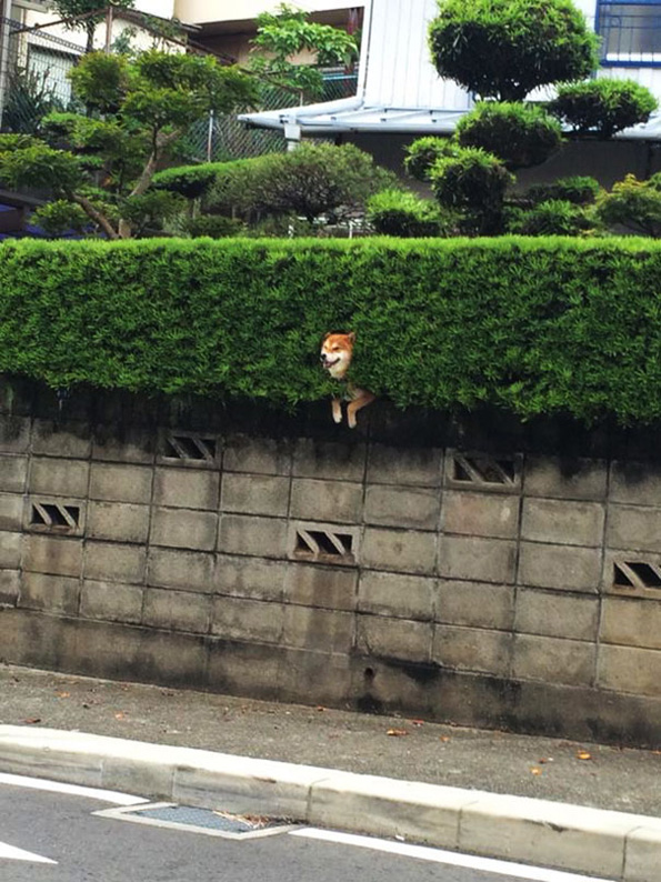 (3) Ова куче се заглавило во грмушка, но продолжило да се однесува како сè да е во ред
