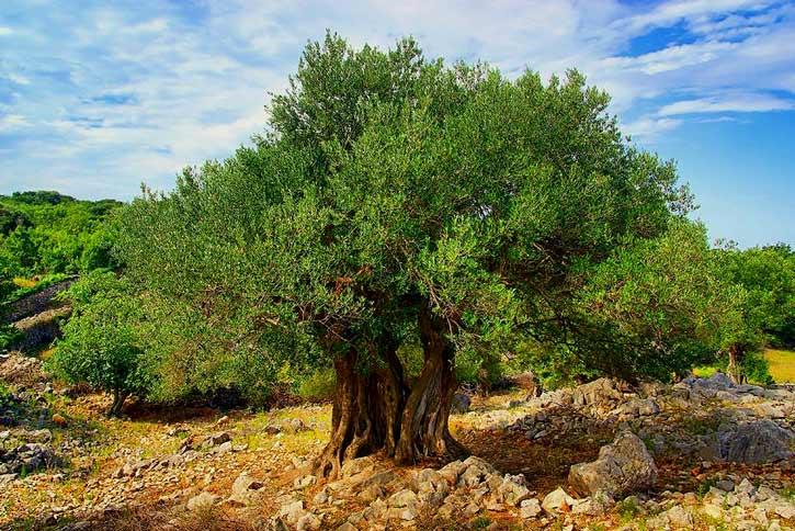 Лек запишан во Библијата, стар 3.500 години: Моќен чај кој го обновува имунитетот