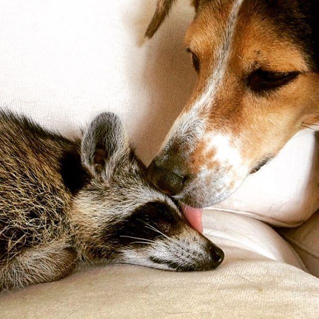 (2) Необично пријателство: Ракун и 2 кучиња се неразделни другарчиња
