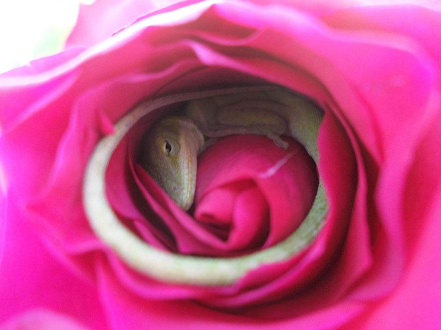 (2) Овој гуштер кој си направил удобен кревет во ружа е најслаткото нешто кое ќе го видите денес