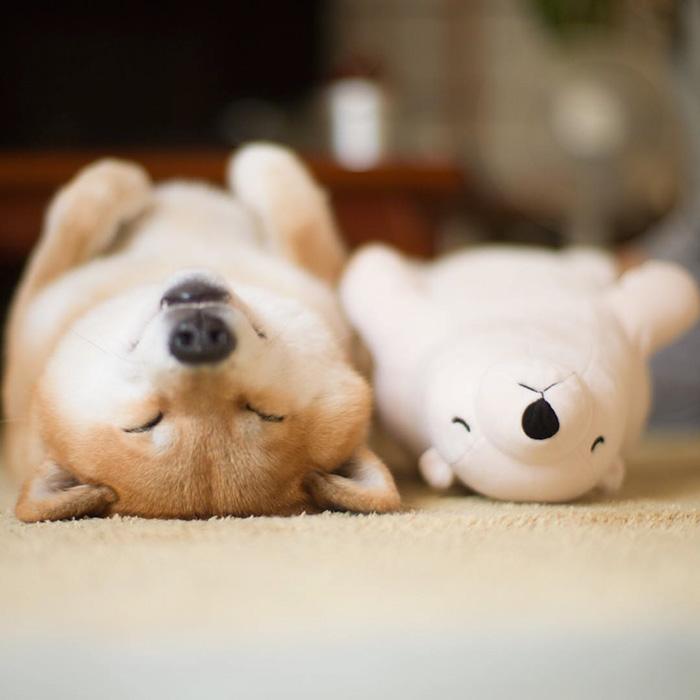Ова кученце обожава да спие како неговата играчка!