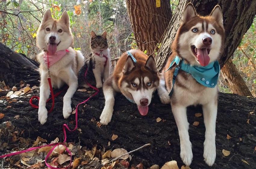 Мачката Рози и нејзините тројца хаски пријатели