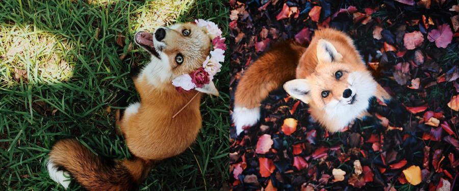 Запознајте ја Џунипер, лисицата која се однесува како кученце