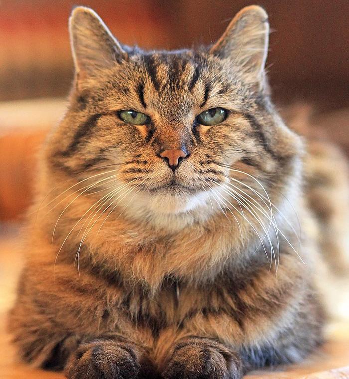 Запознајте го 26-годишниот Кордурој: Најстарото маче на светот