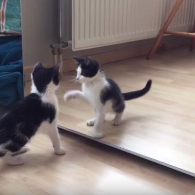 Збунето маченце се бори со неговиот одраз во огледалото