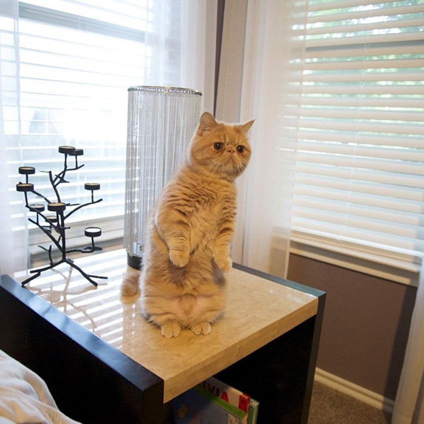 (0) Запознајте го Џорџ, мачорот што секогаш стои само на две нозе