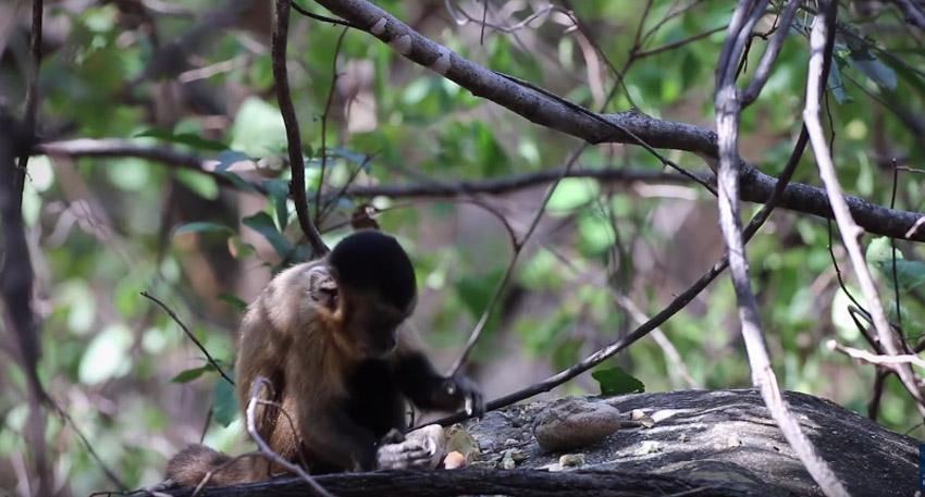 Археолозите пронашле алати стари 700 години создадени од страна на мајмуните