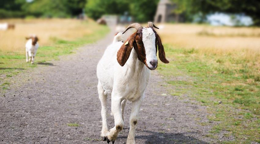 (1) Научниците велат: Козите можат да бидат миленичиња исто како кучињата