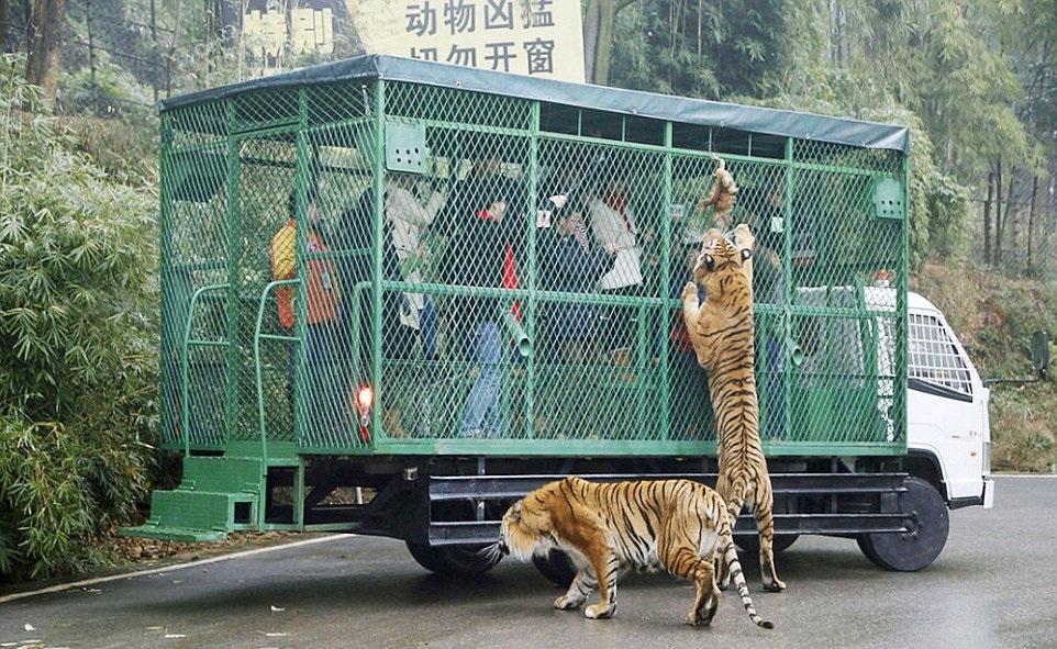 (1) Оваа зоолошка градина во Кина ги става луѓето во кафез, додека животните слободно шетаат