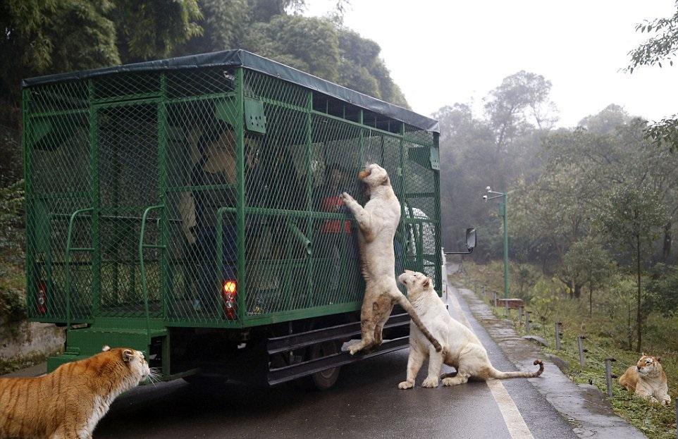 (3) Оваа зоолошка градина во Кина ги става луѓето во кафез, додека животните слободно шетаат