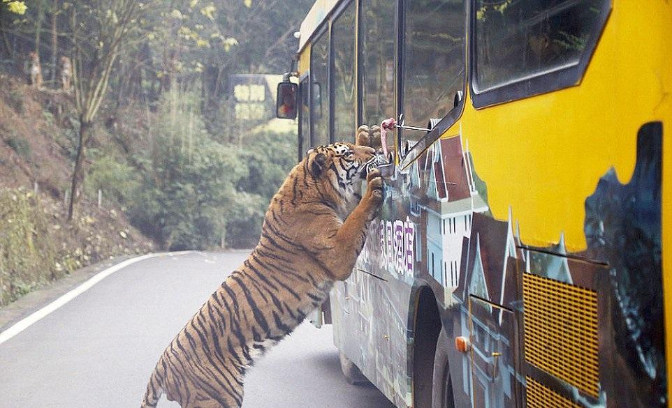 (4) Оваа зоолошка градина во Кина ги става луѓето во кафез, додека животните слободно шетаат