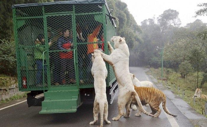 (5) Оваа зоолошка градина во Кина ги става луѓето во кафез, додека животните слободно шетаат