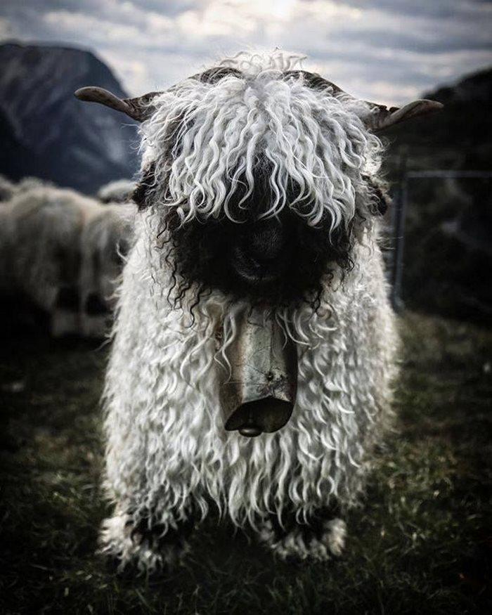 (1) Луѓето не можат да се согласат дали овие овци се слатки и застрашувачки