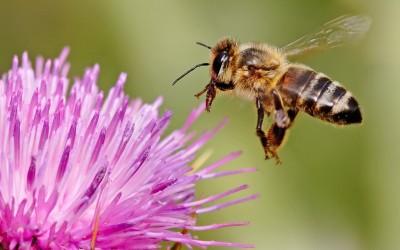 Дали инсектите имаат емоции? По ова откритие ќе размислите два пати дали да ја убиете здодевната пчела