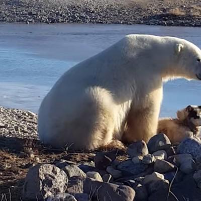 Погледнете како оваа поларна мечка гали мало кученце
