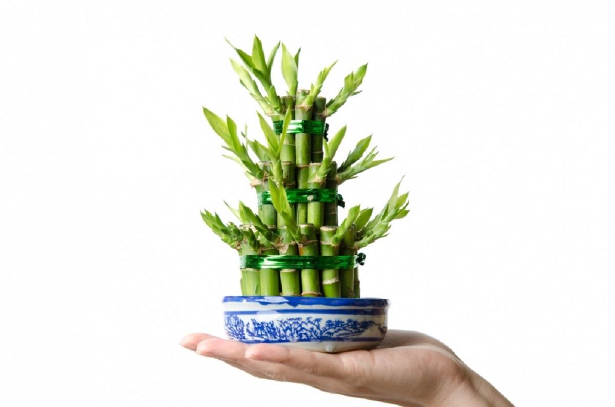 Привлечете љубов, здравје или богатство со помош на ова растение