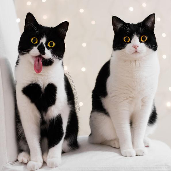 Запознајте ја Зои: Мачката која буквално го носи срцето на нејзините гради