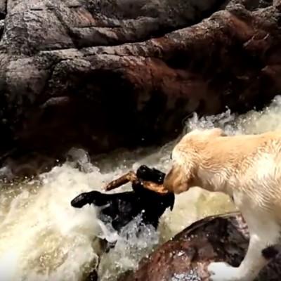 Вистински херој: Погледнете како ова куче му го спасува животот на неговото пријателче!