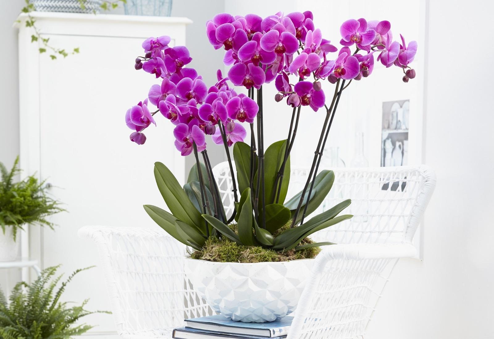 1-orhidei-6-pravila-so-koi-chuvstvitelnite-ubavici-konechno-kje-procvetaat-www.kafepauza.mk_