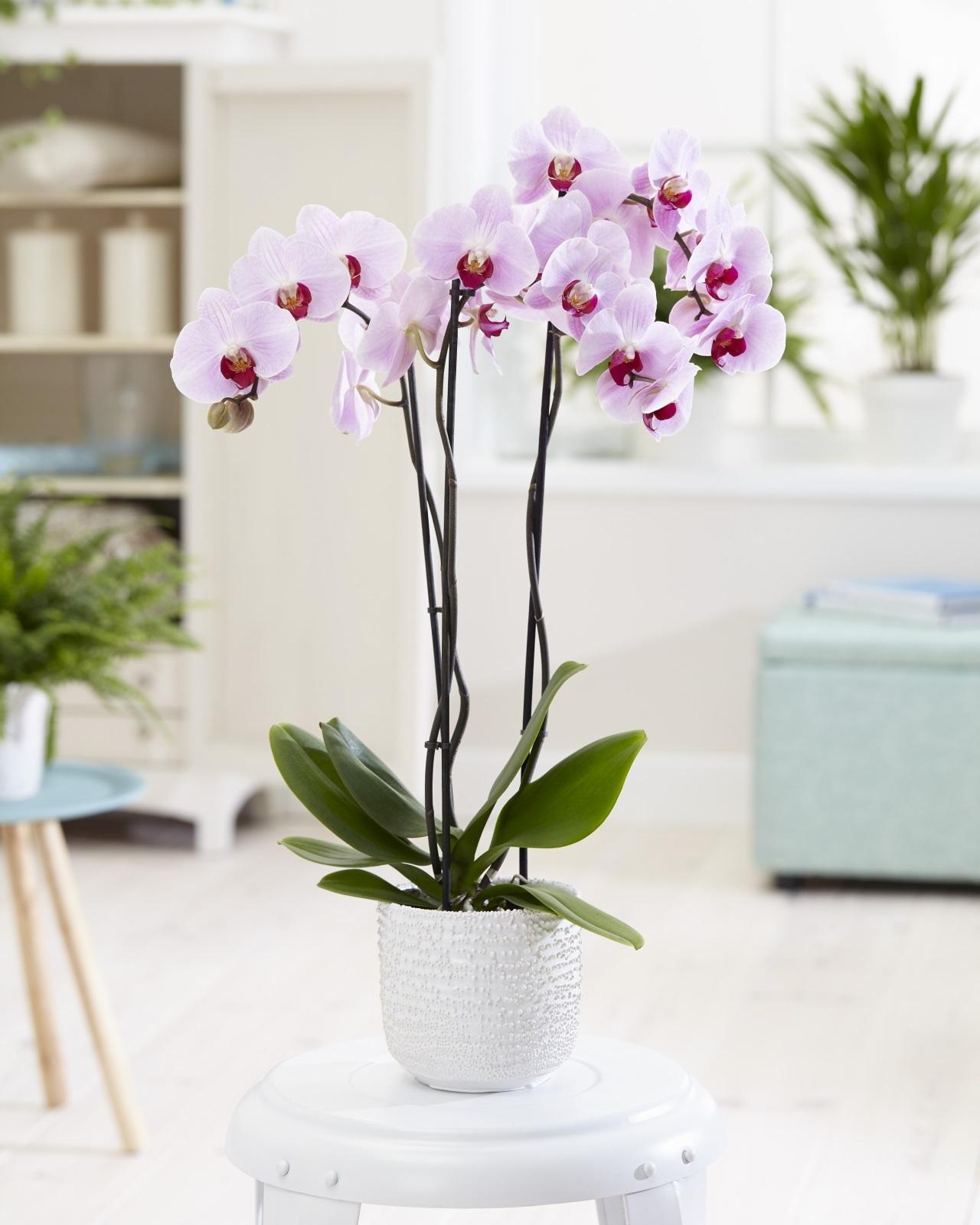 2-orhidei-6-pravila-so-koi-chuvstvitelnite-ubavici-konechno-kje-procvetaat-www.kafepauza.mk_