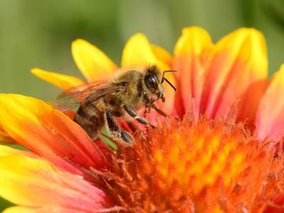 Неверојатно научно откритие: Отровот на пчелите може да го излечи вирусот ХИВ
