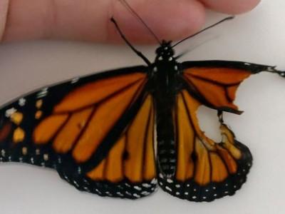 Неверојатна трансплантација: Жена направила операција на кралска пеперутка со скршено крилце