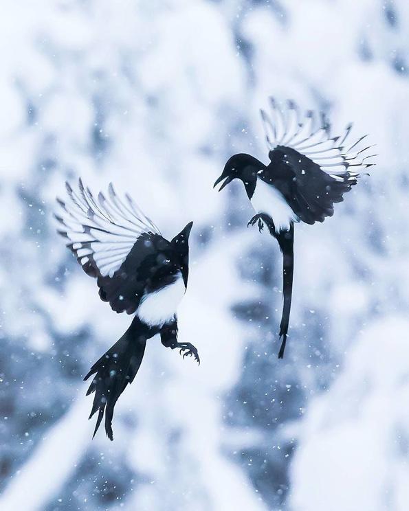 """Фотографии од вистински лути птици кои изгледаат како да се излезени од играта """"Angry Birds"""""""