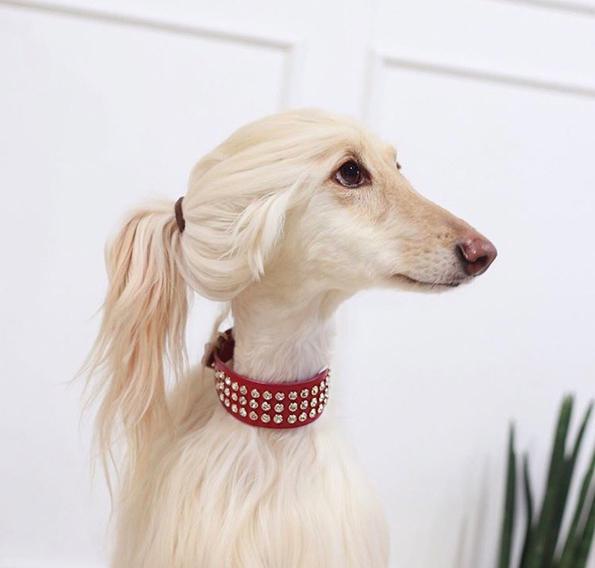 Гламурозно куче што личи на Иванка Трамп!