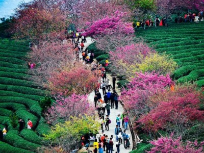 Неверојатна пролетна глетка: Расцветани црешови дрва во Кина