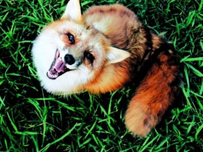 Домашната лисица Џунипер повторно ќе ви го разубави денот