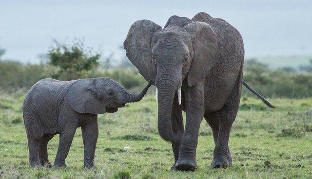 Кое суштество раѓа најголемо бебе споредено со големината на телото?