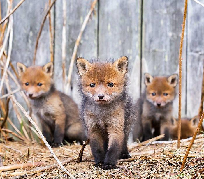Фотограф од Финска прави неверојатни фотографии со лисици