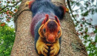 Неверојатни верверици со боја на виножито