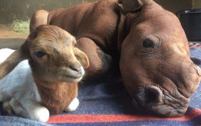 Носорог сираче и неговиот пријател ќе го стопат вашето срце