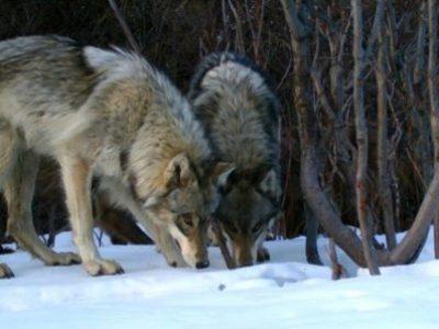 Истражување: Животните стануваат ноќни за да избегнат контакт со луѓето