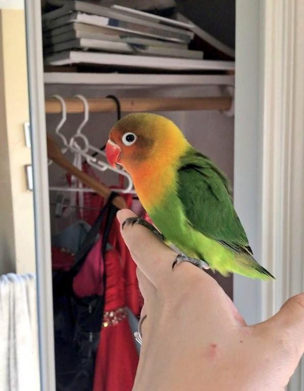 Интернетот се вљуби во малечките на папагалчето Киви и неговата девојка