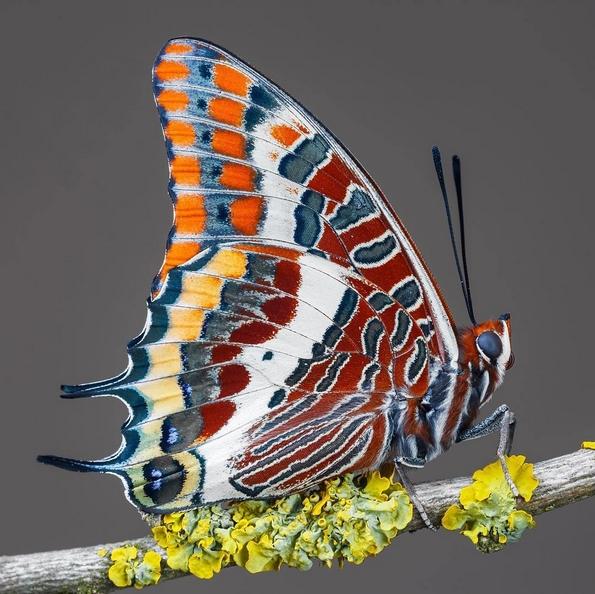 Биолог од Унгарија ги фотографира брилијантните декорации на крилјата на пеперутките
