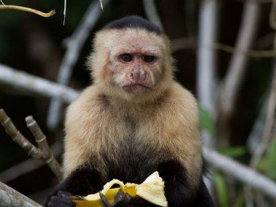 Население од панамските мајмуни влегло во камена доба
