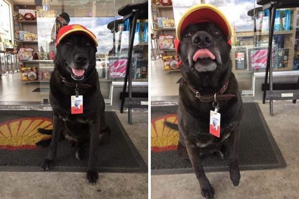Ова куче било оставено на бензинска станица, а сега е сладок работник со полно работно време