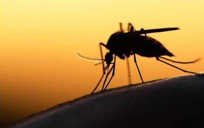 Во Африка ќе бидат пуштени генетски модифицирани комарци