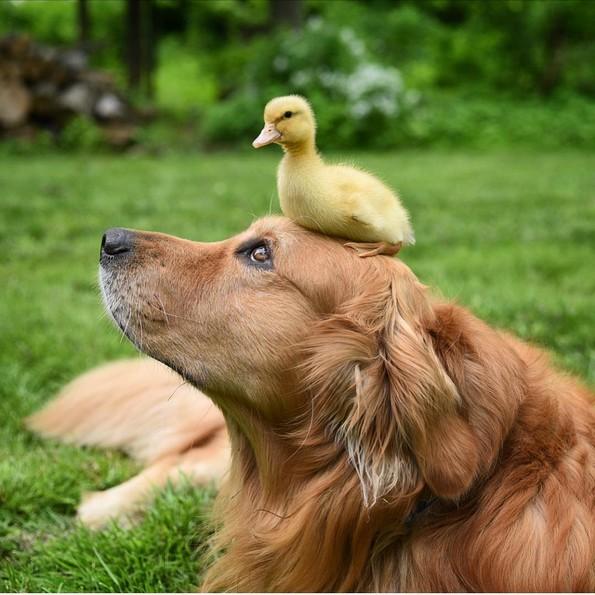Куче без двоумење им станало сурогат татко на три мали патки