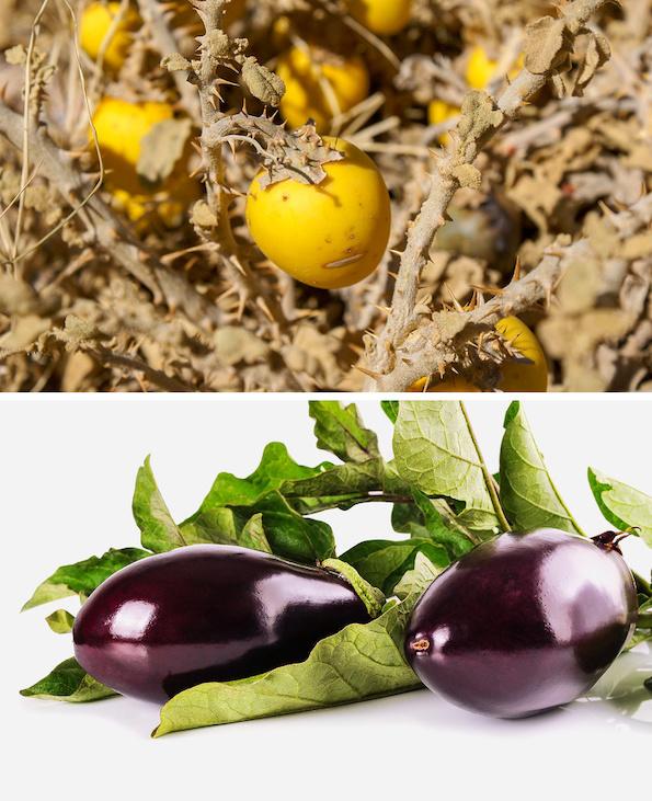 Како изгледале овошјето и зеленчукот во минатото? Бананата сосема ќе ве изненади! (модар патлиџан некогаш и денес)