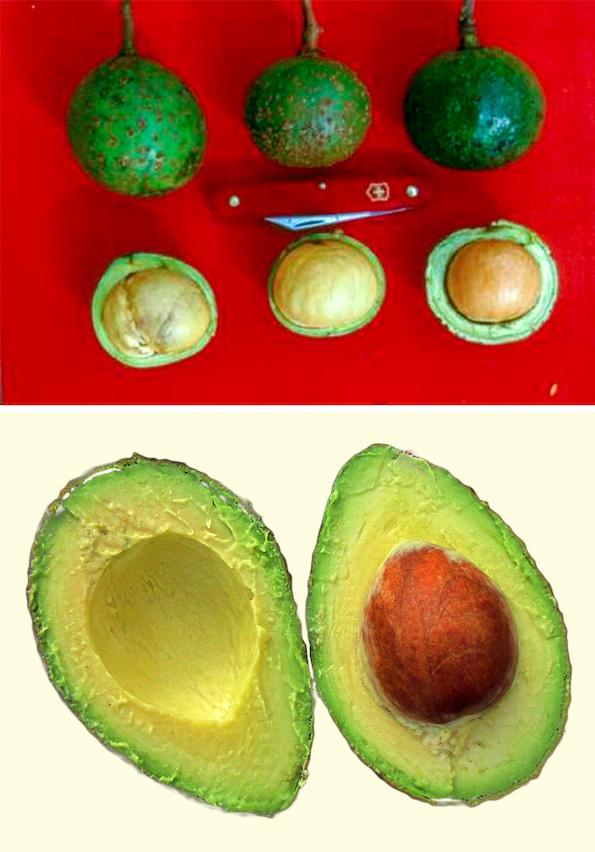Како изгледале овошјето и зеленчукот во минатото? Бананата сосема ќе ве изненади! (авокадо некогаш и денес)