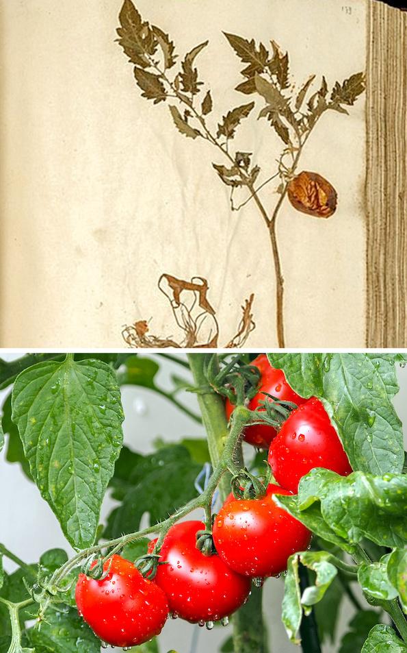 Како изгледале овошјето и зеленчукот во минатото? Бананата сосема ќе ве изненади! (домат некогаш и денес)
