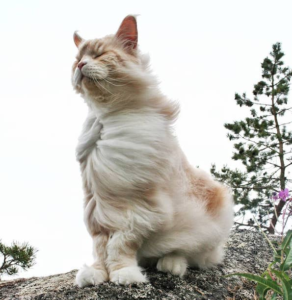 Запознајте ја величествената Лотус, неверојатно голема мачка од расата мејн кун