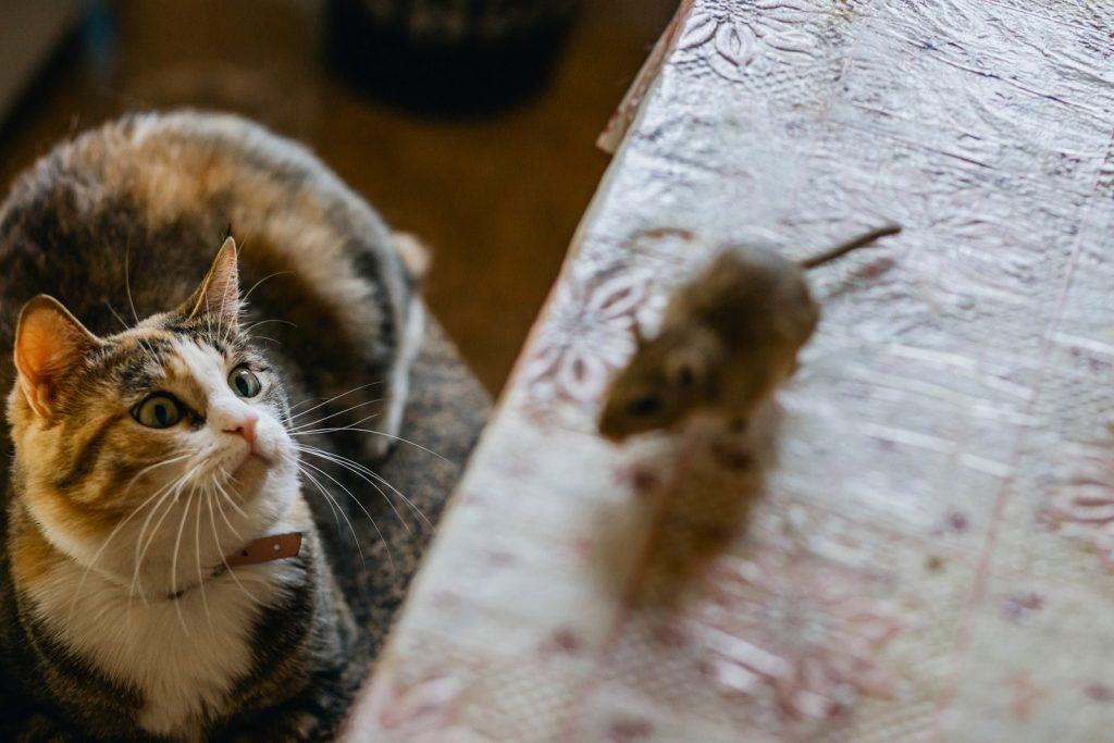 Истражување открило дека мачките не се добри во ловење стаорци