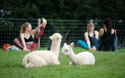 Нов луд тренд: Вежбање јога со алпаки